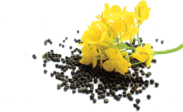 A small pile of canola seeds with a canola flower laying on top.