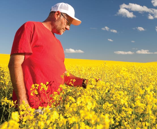 A person standing in a canola field.